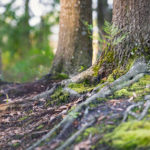 Fern_Roots