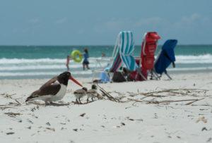 Oyster Catcher beach day