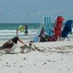 Oyster_Catcher_beach_day