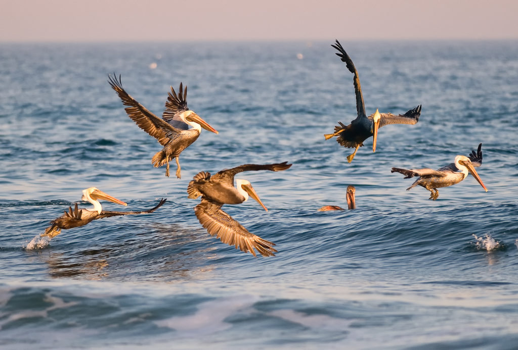 Pelican Dance