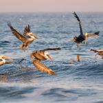 Pelican_Dance
