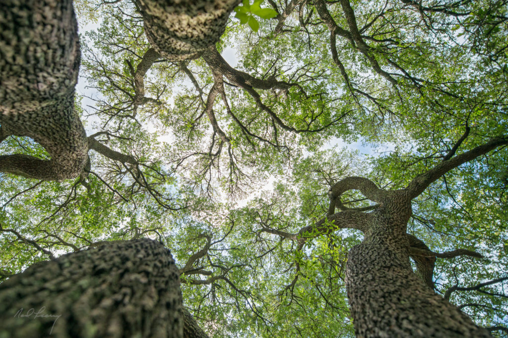 Up Oak